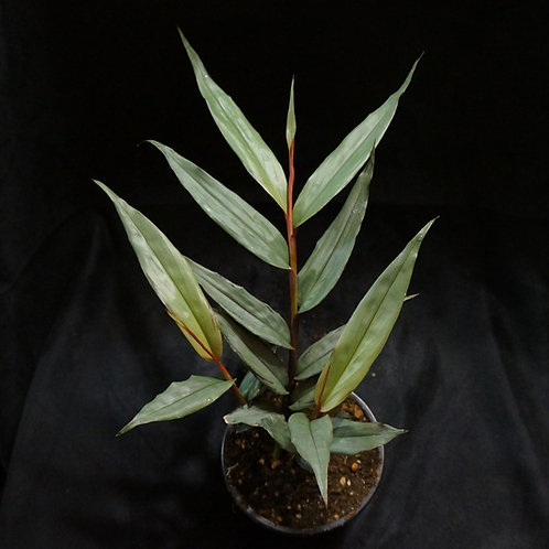 Alpinia luteocarpa ( Bamboo Ginger )
