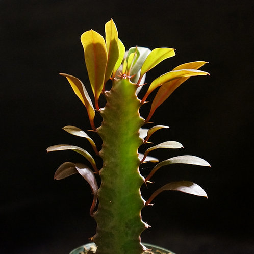 Euphorbia trigona 'Rubra' [SM]