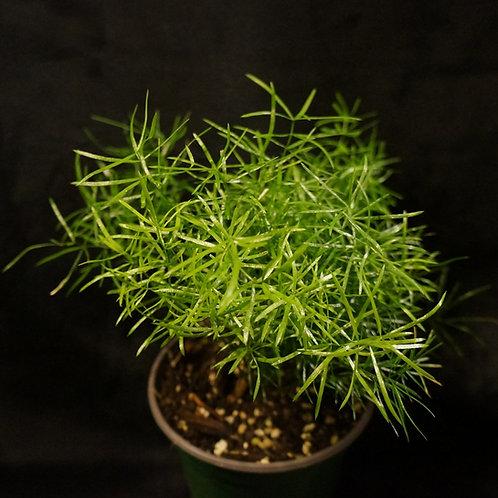 Asparagus aethiopicus 'Sprengeri' (Asparagus Fern)