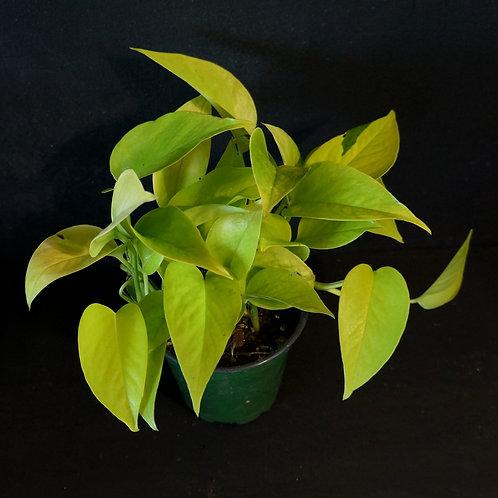 Epipremnum aureum 'Neon' (Pothos)
