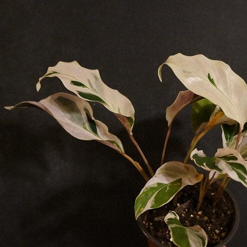 Calalthea 'White Fusion'