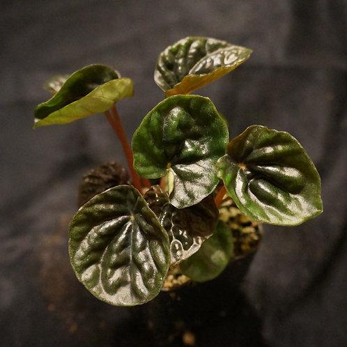 Pepeomia caperata 'DarkEmerald'