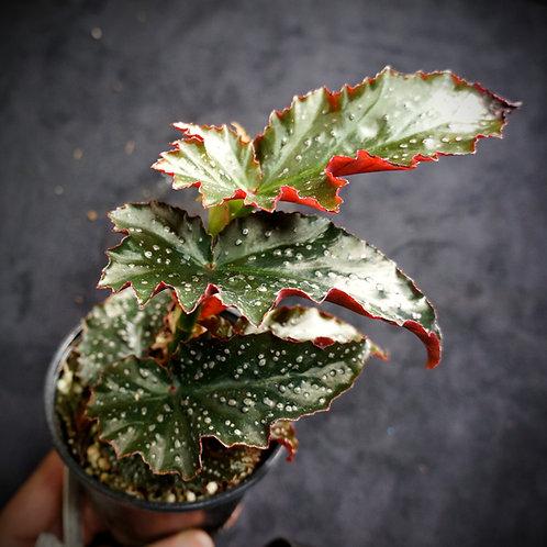 Begonia 'Fannie Moser'