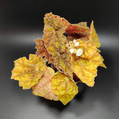 Begonia 'Autumn'