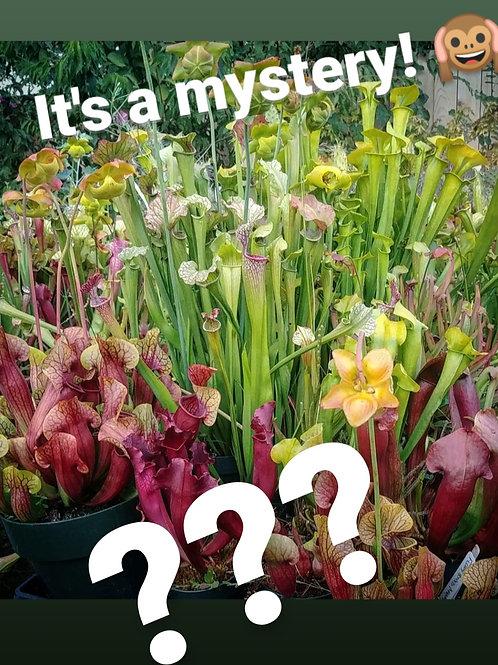 Mystery Sarracenia Rhizome (Single)