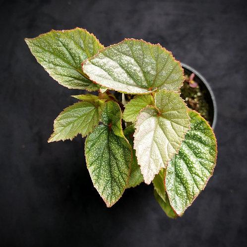 Begonia 'Sinbad'