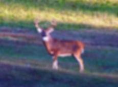 Whitetail Buck Deer