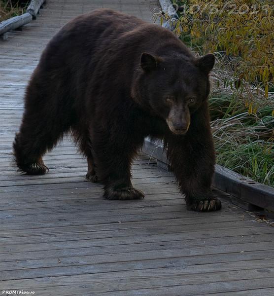 Bear in El Dorado National Forest, California