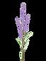 lavender-4341500_640.png