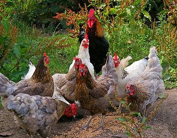 krielkippen, kuikens, broedeieren, kippen te koop | De Kippenspecilist