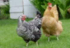 Kippen Benodigdheden Te Koop | De Kippenspecialist