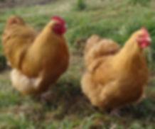 Kippen Te Koop | Kippenrassen | De Kippenspecialist