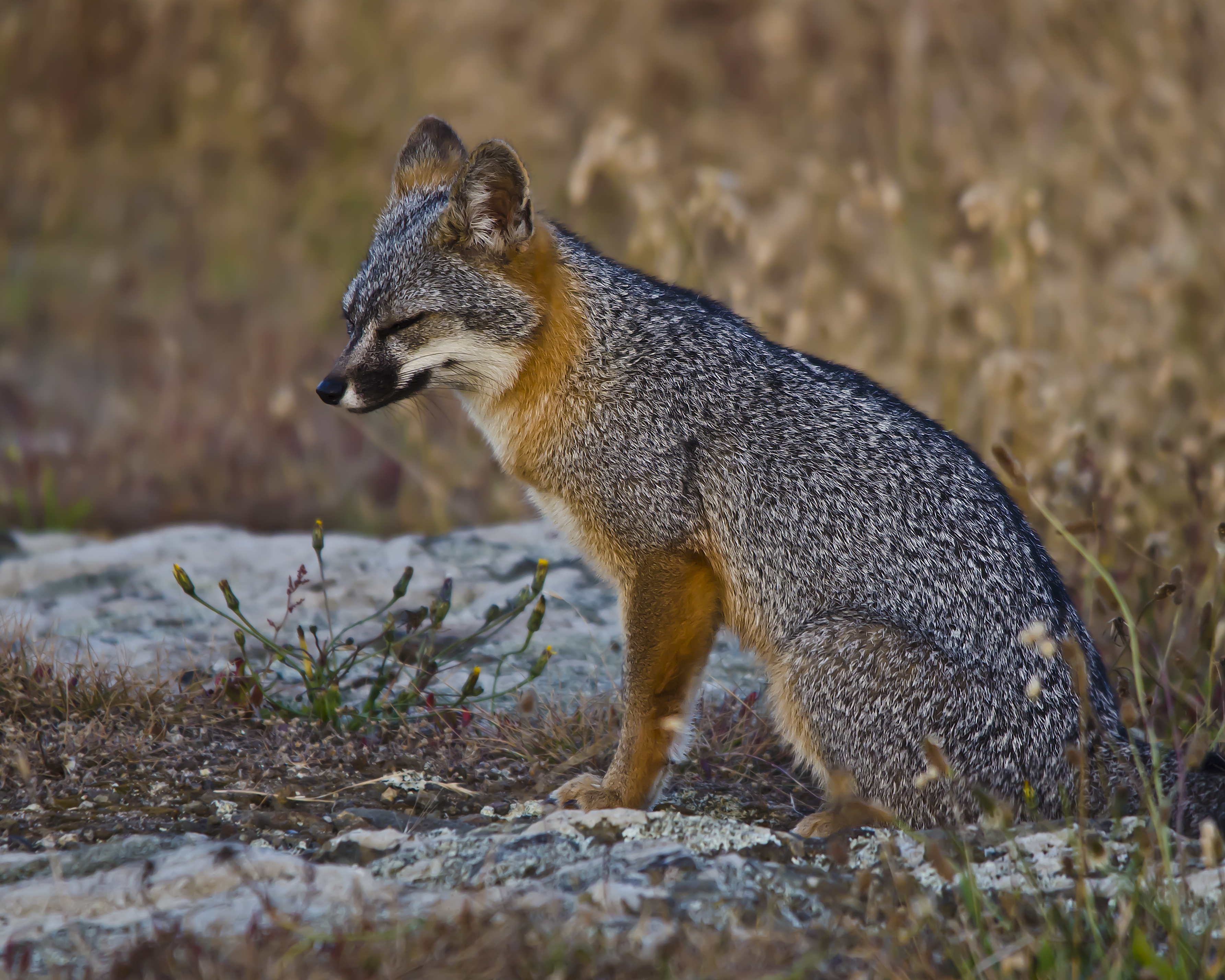 #301 Gray Fox