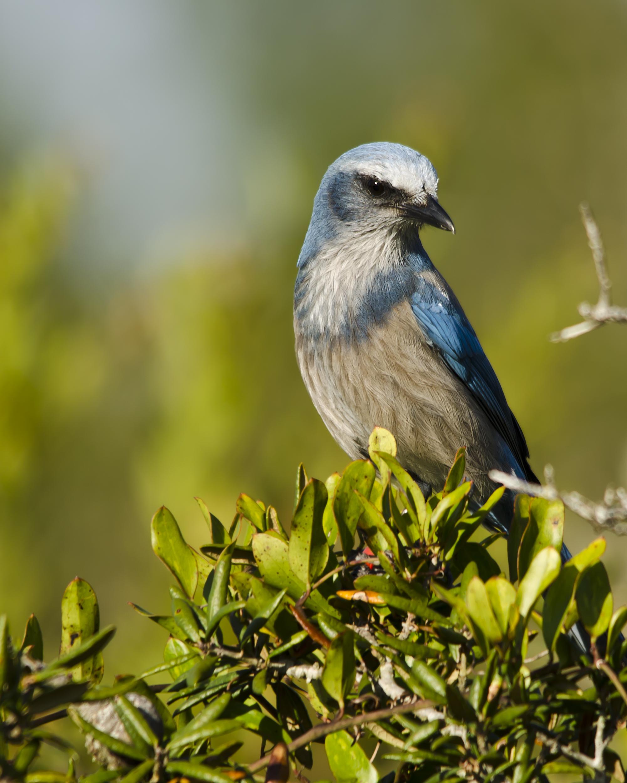 #364 Florida Scrub Jay