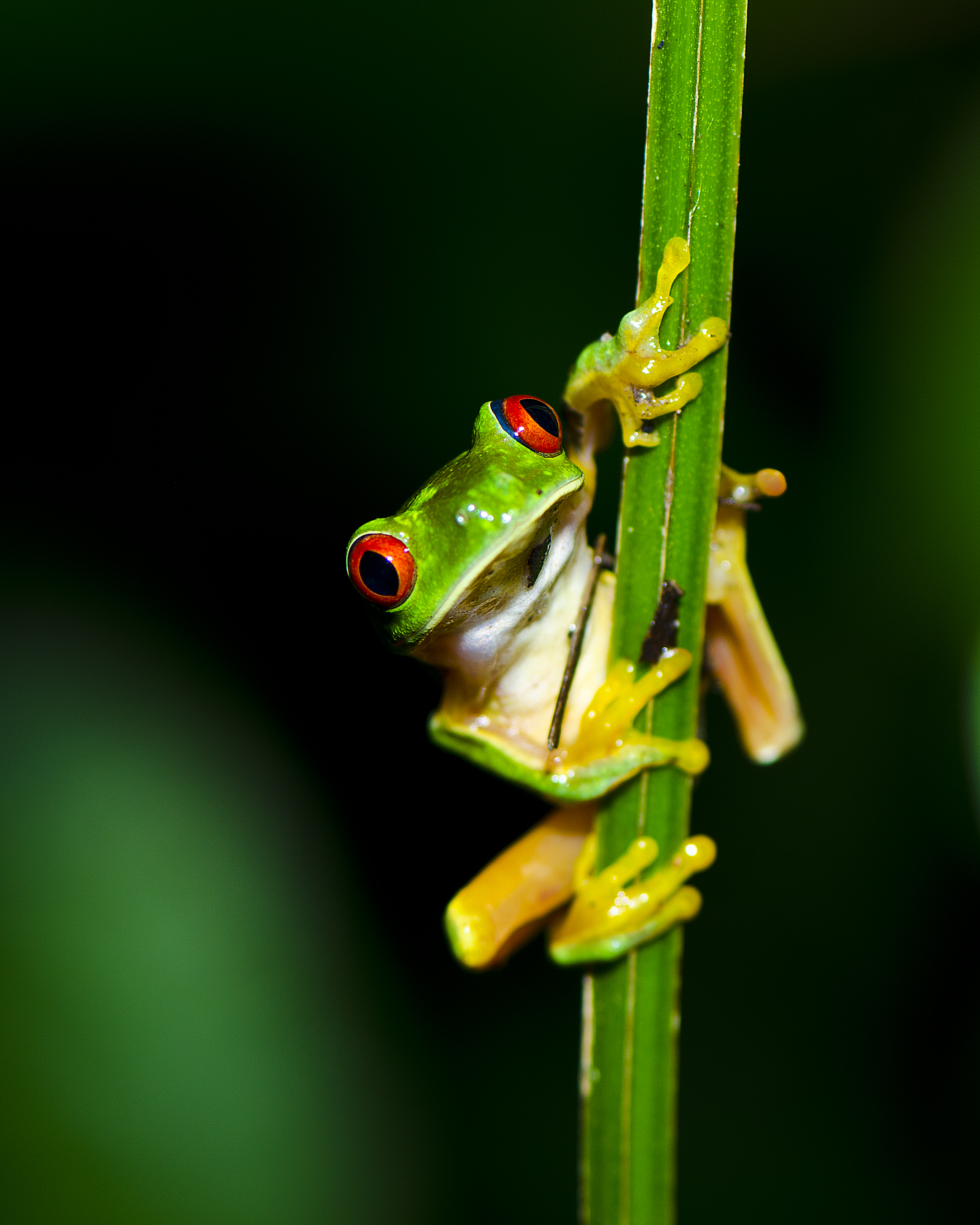 #151 Red-eyed Treefrog