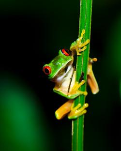 #151 Red-eyed Treefrog