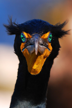 #58 Double-crested Cormorant