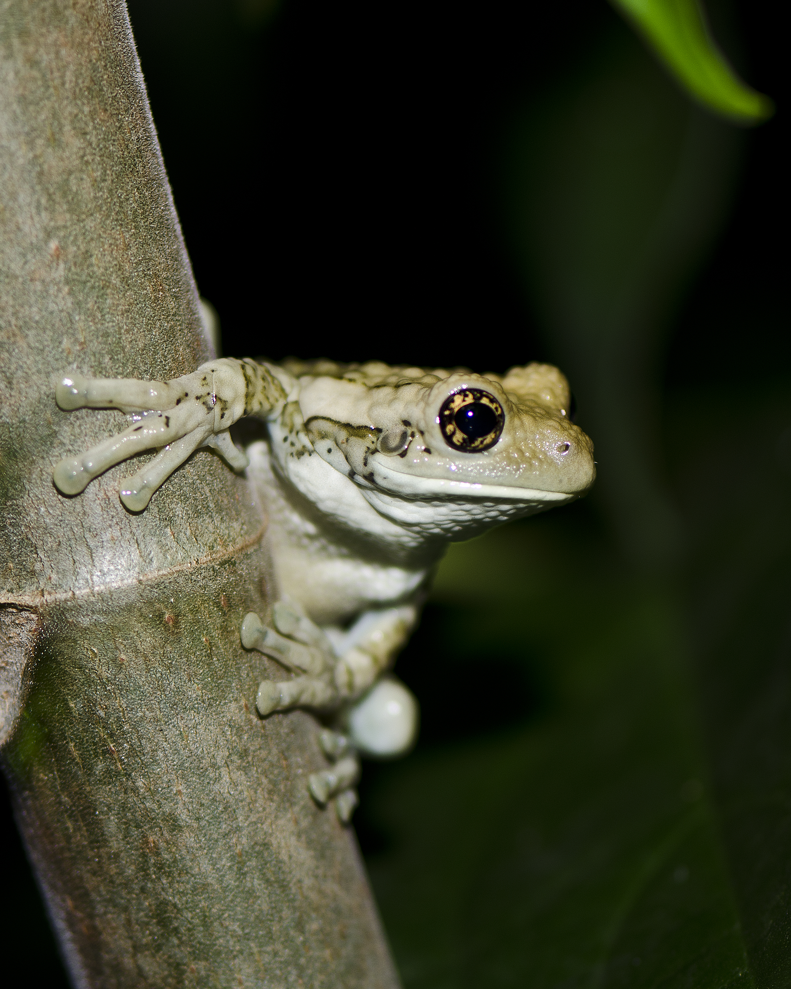 #166 Veined Treefrog