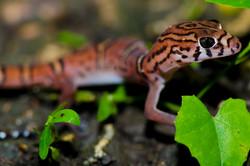 #161 Yucatan Banded Gecko