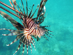 #137 Red Lionfish