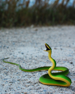 #144 Rough Green Snake