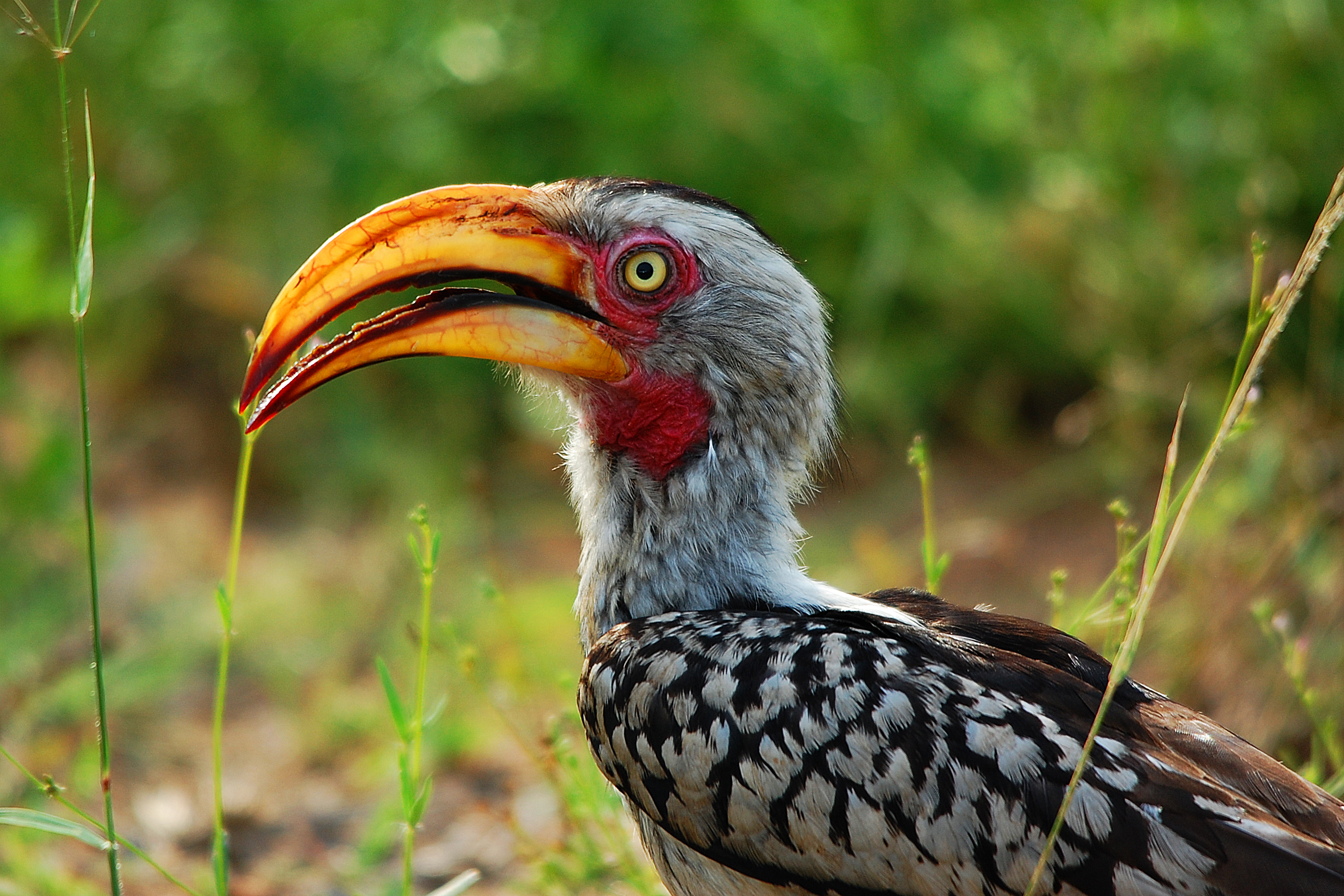 #5 Southern Yellow-billed Hornbill