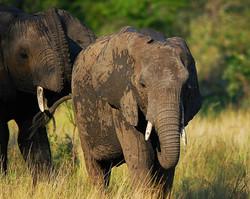 #25 African Elephant