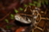 Burmese Python in Everglades