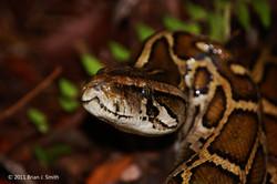 Everglades Python In Situ