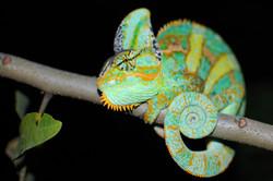 #42 Veiled Chameleon