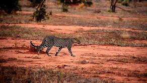 В погоне за леопардом