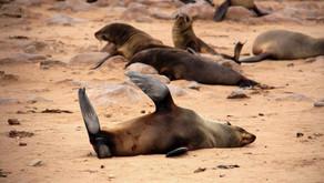 Намибия, Cape Cross: 100 тысяч вонючих морских котиков