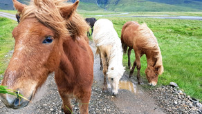 Кто является главной милотой Исландии?