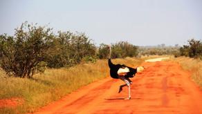 Цаво парк (Tsavo park)- Кения или львы готовятся к охоте