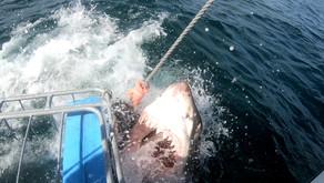 Большая белая акула