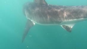 IRADIMA в ЮАР рассматривают Большую белую акулу