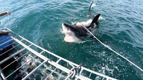 Плавание с белыми акулами