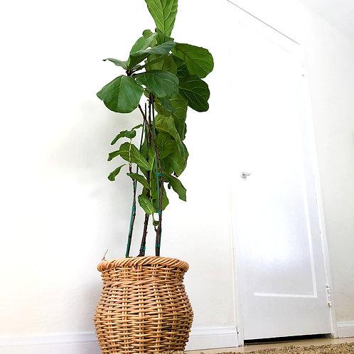 3 gallon fiddle leaf fig