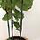 Thumbnail: 3 gallon fiddle leaf fig