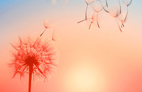 Silhouette of dandelion against the back