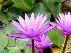 lotus.pond_edited