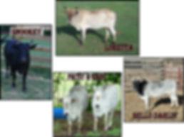 Cows jpg.jpg