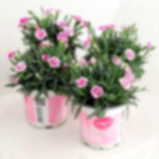 Dianthus Pink kisses KL.JPG