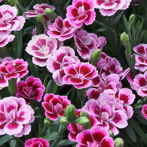 Dianthus Pink kisses
