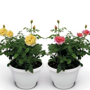 Rosales de flores comestibles
