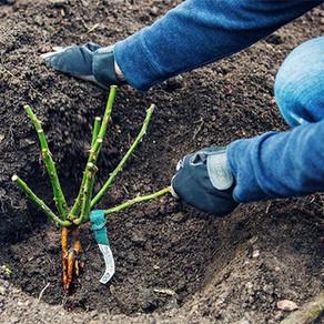 Cómo plantar a raíz desnuda