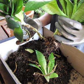 Dividir matas y rizomas para multiplicar las plantas