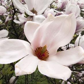 Magnolias que anuncian la primavera