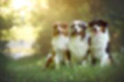 Everland Australian Shepherd Zucht