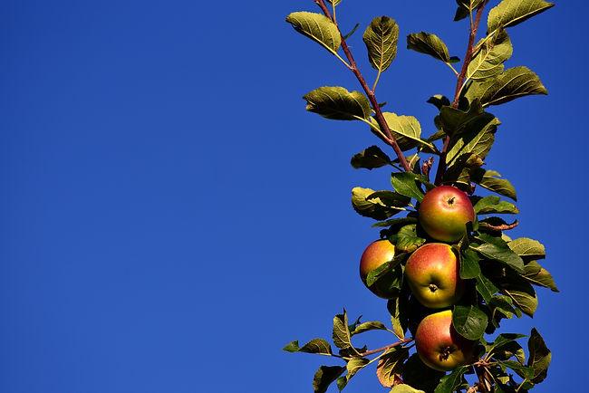 Apple tree on blue.jpg